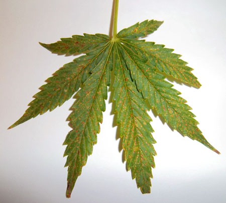 Picture of a calcium deficiency on a cannabis leaf - white background so you can clearly see the brown spots - calcium deficiencies appear on the upper leaves (new growth)