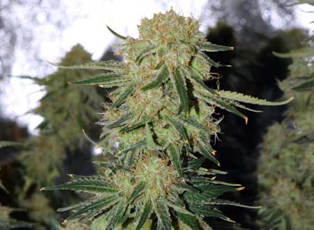 This cannabis cola is ready to harvest