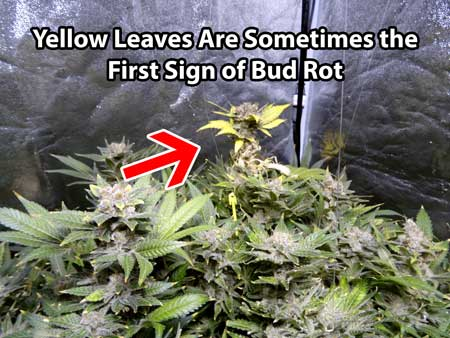 One of the first signs of bud rot is often yellow leaves where the mold is taking hold