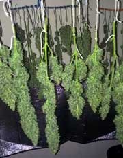 Example of cannabis buds after harvest drying by being hung upside down