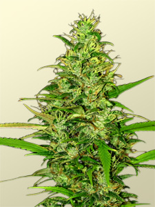 Grow Weed Easy - Beautiful Huge Cannabis Cola