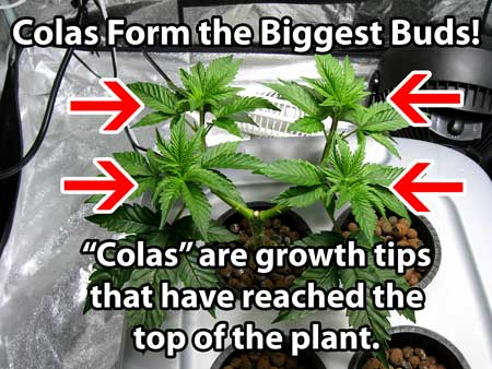"Definition of cannabis ""cola"" - A cola is basically a growth tip that has reached the top of the plant. The reason they have a special name is because colas form the biggest buds!"