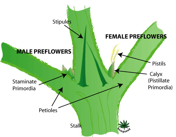 Cannabis gender diagram - male vs female pre-flowers