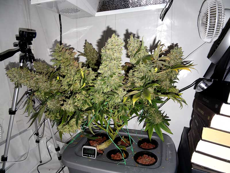 Original Amnesia in regular light & 250W Cannabis Grow Journal - 6.2 oz Yield | Grow Weed Easy