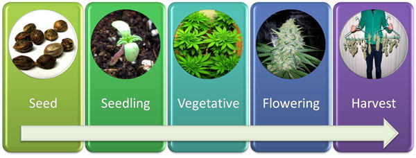 A diagram showing the growing timeline of a cannabis plant, from seed to harvest