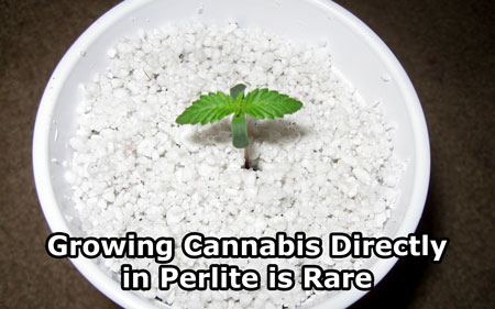 Cannabis seedling growing directly in perlite - perlite is not a common growing medium for cannabis when used all by itself