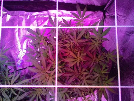Cannabis plant just before training - a scrog net was just put up