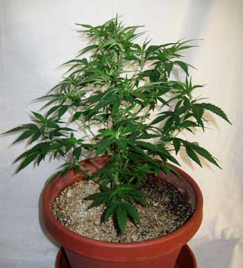 You can see through the plant, and light easily reaches the bottom, so this cannabis plant doesn't need to be defoliated.