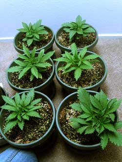 6 cannabis plants growing in coco coir