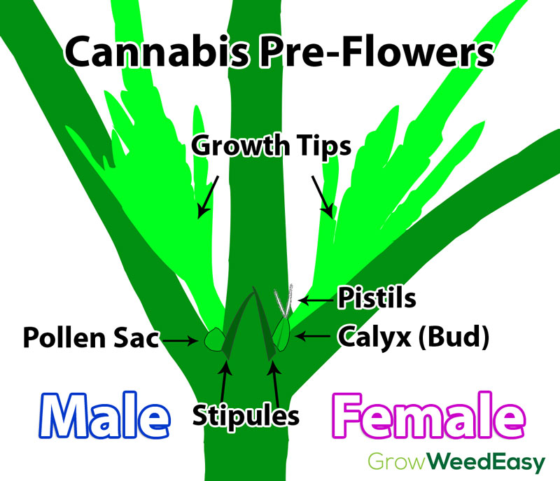 Cannabis pre-flowers diagram - chart shows difference between male and female preflowers