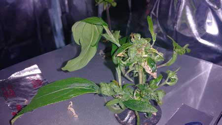 "A ""monster cropped"" cannabis clone - the clone was taken from a flowering plant, which caused strange growth and smooth leaves to form while th plant reverts back to the vegetative stage"