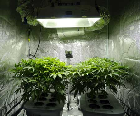 How long does it take to grow marijuana? What's the timeline? These cannabis plants are vegetating and should be ready to switch to the flowering stage soon!