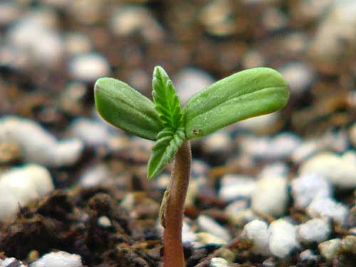 A young, cute cannabis seedling that has just germinated. It has its whole life ahead of it!