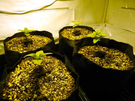 Happy cannabis seedlings have germinated in coco coir under a 250W HPS grow light