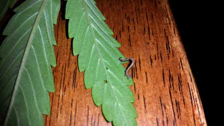 Example of an inch worm / caterpillar on a cannabis leaf. You can even see a hole in the leaf where it was eating! Grrrrrr