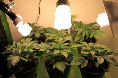 There's lots of ways to configure CFL grow lights depending on the size and shape of your plants