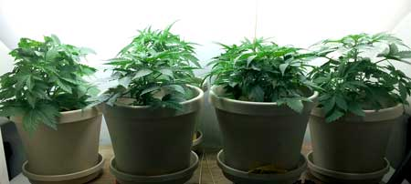 These plants are grown in soil, which is more resistant to heat in general than when growing cannabis in hydro