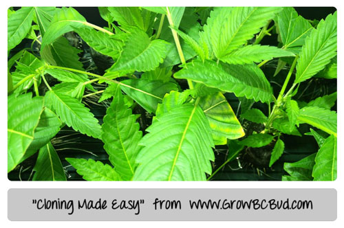 Cannabis Cloing made easy - Tutorial Brought to You by GrowBCBud.com