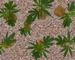 Young marijuana clones