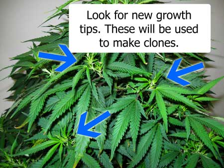 "Look for new growth tips on your ""mother"" marijuana plant. These will be used to take new clones."