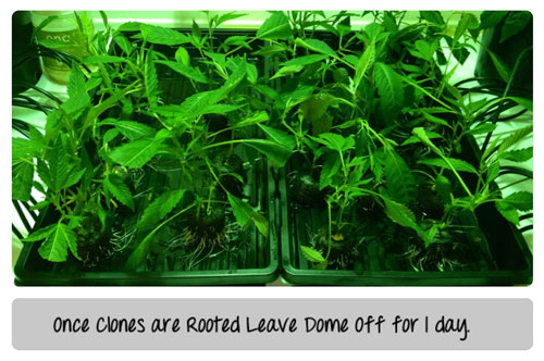 Once clones are rooted, leave the dome off for a day. Make sure roots stay wet. Click picture for closeup!