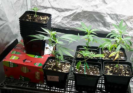 These rooted pot clones have been planted in coco coir and are ready to start growing!