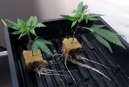 "Pic by B. Clement - These cannabis cuttings have successfully sprouted roots and has achieved full ""clone"" status"