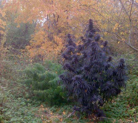 Crazy purple cannabis outdoors looks like an illusion