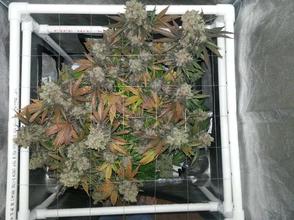 Critical Hog marijuana plant just before harvest - Grown in DWC bucket with ScrOG - DenverGrows & Marijuana DWC Bucket Flowering Stage - Presented by Scootter82 of ...