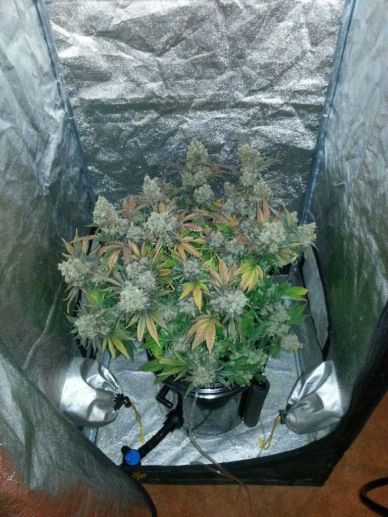 Day 83 of flowering - Time to harvest marijuana plant! & Marijuana DWC Bucket Flowering Stage - Presented by Scootter82 of ...