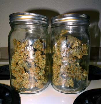 Critical Jack auto-flowering cannabis buds in jars, ready to be cured