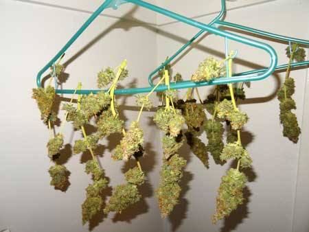 Critical Jack auto-flowering buds hanging in my closet