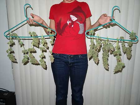 Holding up a cannabis harvest!
