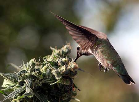 Hummingbirds are so cute, and they seem to like cannabis buds