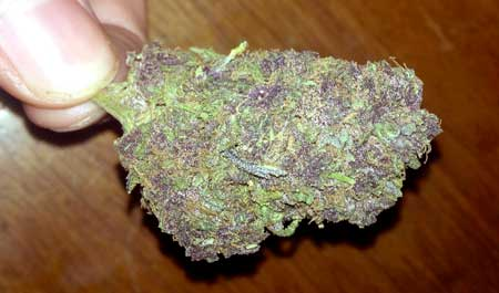 Example of a somewhat purple bud in hand