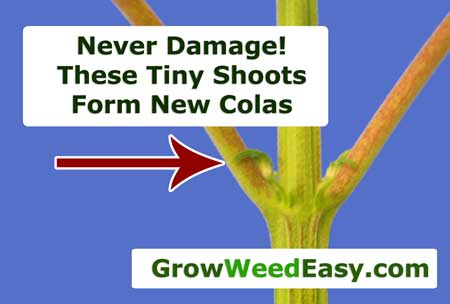 Never damage the tiny shoots butted up next to your fan leaves, as they can form into new colas