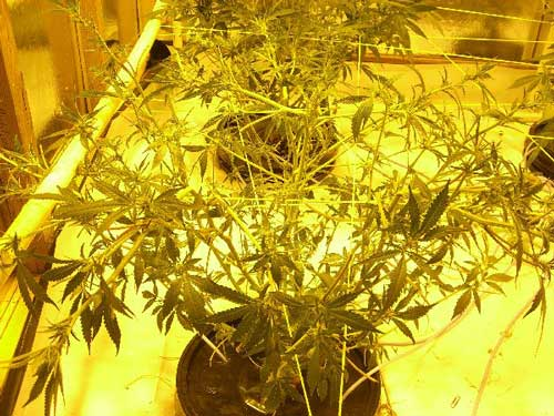 Marijuana girl 2 weeks into flowering, right after being extensively defoliated