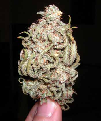 Example of dried but untrimmed Blue Dream bud - a Sativa-leaning cannabis hyrbrid