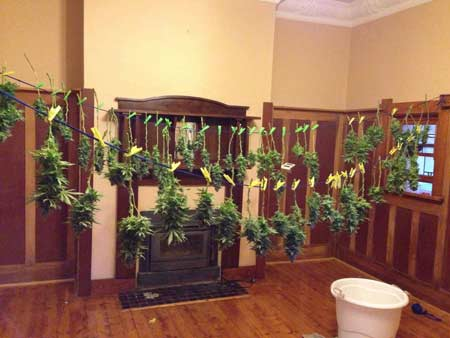 "These ""dry trim"" cannabis buds were not trimmed before being hung to dry. In fact, the grower didn't even remove any fan leaves! Instead the plant was hung almost directly upside down"