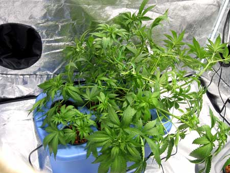 An example of using LST on a cannabis plant to pull branches down and away from teh center of the plant