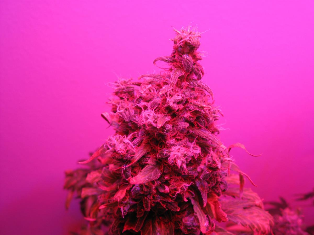 a white rhino cannabis plant grown under the eloofa led panel