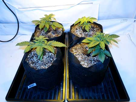 These cannabis plants are on inclined trays so all the runoff water pools to the front