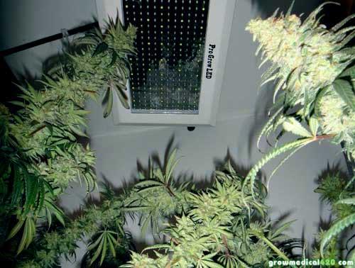 Afghan (L), Critical Sensi (R), Pro-Grow 550 LED grow light (center)