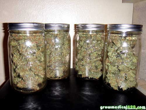 """While stored in jars, these Critical Sensi buds will get daily """"burpings"""" until they're properly cured"""