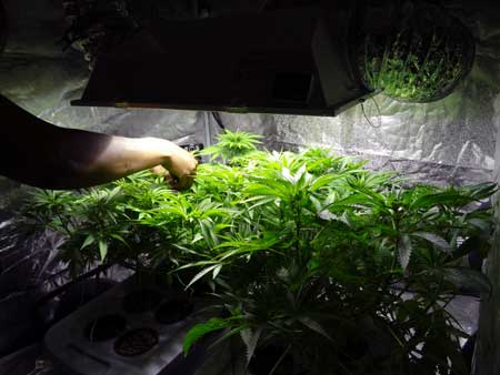 Example of a grower tending to his cannabis garden by bending over the tallest stems down and away from the center of the plant so that it grows flat like a table