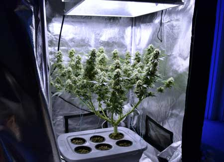 Example of a trained (manifolded) marijuana plant that has many colas