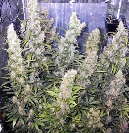 Example of a cannabis plant that has been defoliated in order to increase the yields