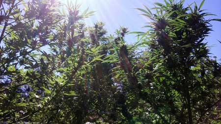 Marijuana plants growing under the sun - in order to replace the sun indoors, growers need to get cannabis grow lights