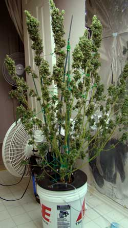 Example of a Sativa plant that was allowed to get a little too tall - but still produced great bud!