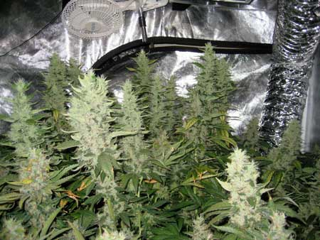 Example of Sativa plants that have been trained to grow wide and flat, so that many big colas can be kept close to the light